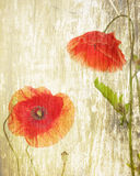 Red poppies. On a grunge wood background Royalty Free Stock Photo