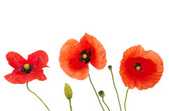 Free Red Poppies Royalty Free Stock Image - 16587606
