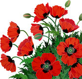 Red poppies. On a white background -  vector illustration Stock Image
