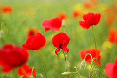 Red poppies. Field with red poppies on a smooth green bakground Royalty Free Stock Photos