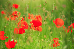 Red poppies. Meadow of bright red poppies blowing in the breeze Stock Photography