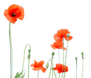 Red poppies. Over white background stock image