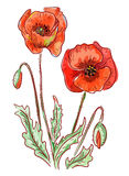 Red poppies. Red poppies on white background. Illustration Stock Photography