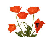 Red poppies. Red large poppies stand vertically Stock Photo