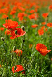 Red poppies. Field with red poppies and grass in the evening sun Royalty Free Stock Photos