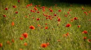 Red poppies. A close up on a field of red poppies Stock Photography