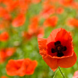 Red poppies. Field with red poppies one flower in close-up Royalty Free Stock Photography