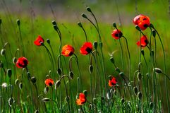 Red poppies. Spring red poppies flowers on a background of a green grass Stock Images