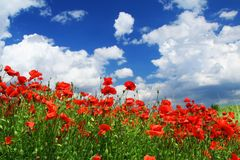Red poppies. Field of red poppies with cumulus clouds, focus is set in foreground Stock Image