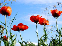 Red poppies. Blossom in a summer garden Stock Photos