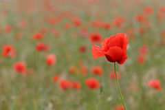 Red poppies. Many red poppies in summer field Stock Photography