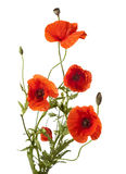 Red poppies. Isolated on white Stock Photos