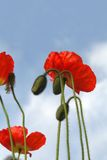 Red poppies. Beautiful red poppies in the park Royalty Free Stock Images