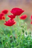 Red poppies. Close-up of red poppies. red and green Royalty Free Stock Image