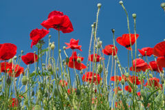 Red poppies. On a field against blue sky Stock Photography