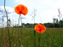 Red poppies. On a meadow against blue sky Royalty Free Stock Image