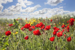 Red Poppies. Red poppy flowers in meadow against sky Stock Images