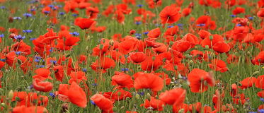 Red poppies. Beautiful red poppies in garden royalty free stock photo