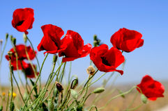 Red poppies. Shot and blue sky Royalty Free Stock Images