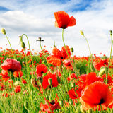 Red poppies Royalty Free Stock Images