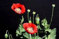 Red poppies against a black background. Stock Images