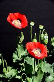 Red poppies against a black background. Royalty Free Stock Images