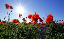 Red poppies against blue skies Royalty Free Stock Photo