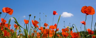 Red poppies against a blue sky. Field with red poppies and grass  against a blue sky Stock Photography