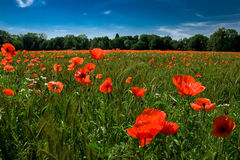 Red poppies against a blue sky. Meadow with red poppies and corn  against a blue sky Royalty Free Stock Photography