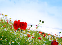 Red poppies against the blue sky. Royalty Free Stock Photos