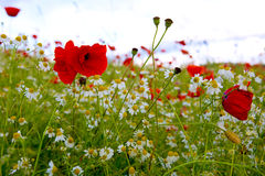 Red poppies against the blue sky. Royalty Free Stock Images