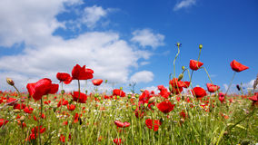 Red poppies against the blue sky. Stock Images