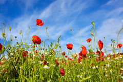 Red poppies against the blue sky. Stock Photo