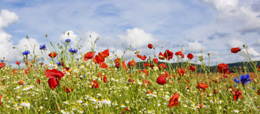 Red poppies against the blue sky. Royalty Free Stock Photography