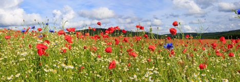 Beautiful poppy field and blue sky. Red poppies against the blue sky.Poppies on green field Stock Photos