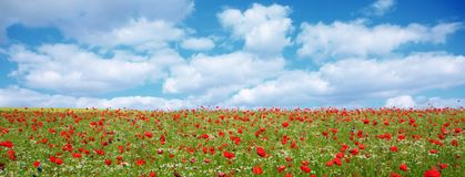 Wild poppy flowers on blue sky background. Red poppies against the blue sky.Poppy in the field Stock Image