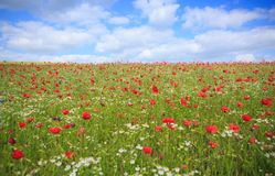 Wild poppy flowers on blue sky background. Red poppies against the blue sky.Poppy in the field Royalty Free Stock Images