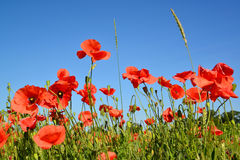 Red poppies against the blue sky Stock Images