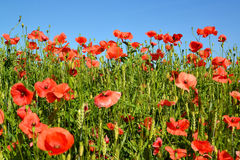 Red poppies against the blue sky Royalty Free Stock Image
