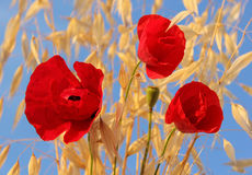 Red poppies against a bright blue sky Royalty Free Stock Photography