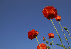 Red poppies against clear blue sky. Closeup of brightly lit red poppies against clear blue sky Stock Photos