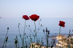 Red poppies against the sea and blue sky in Kiparissi Lakonia village, Peloponnese, Zorakas Bay, Greece in the April evening, 2019 royalty free stock images