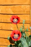 Red poppies against a wooden fence. Stock Photography