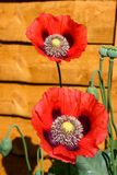 Red poppies against a wooden fence. Stock Image