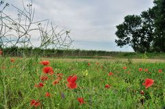 Red poppies. Agriculture in Taman. Stock Photography