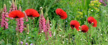 Red Poppies. Red Poppies all in an English country cottage garden intermixed with other typical summer border planting Royalty Free Stock Image