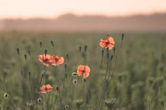 Free Red Poppies And Flying Bee Stock Image - 136148291