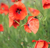 Red poppies background Stock Image