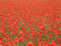 Red poppies background. Beautiful red poppies flowers background Royalty Free Stock Photos