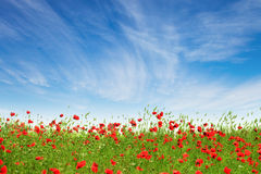 Red poppies on a background of blue sky Royalty Free Stock Photography